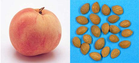 桃の実と種子