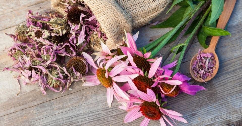 """風邪や花粉症対策に、免疫力を高める""""ネイティブ・アメリカンのハーブ""""エキナセアメイン画像"""