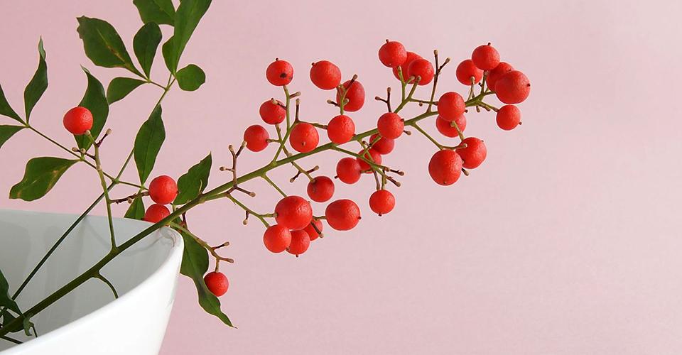 咳止め薬やのど飴の原料に。冬を彩る縁起物、ナンテン一覧画像