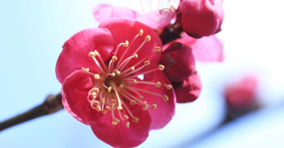 春を告げるウメの花 <br />効能や楽しみ方をご紹介♪一覧画像