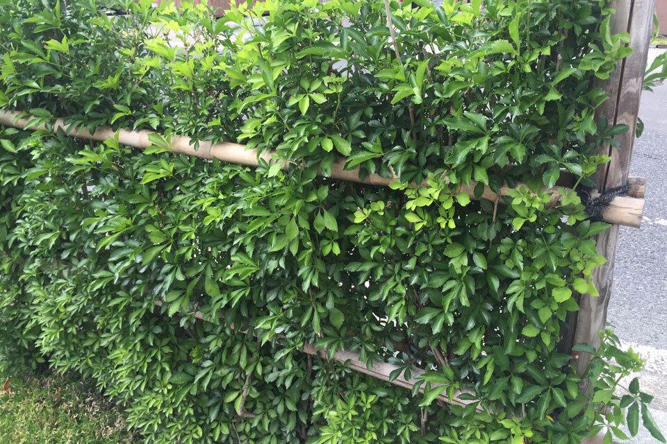 ウコギの垣根