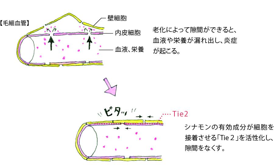 毛細血管の構造のイラスト