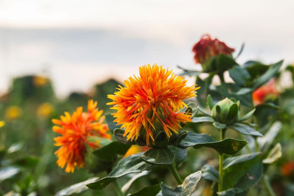 野に咲くサフラワー
