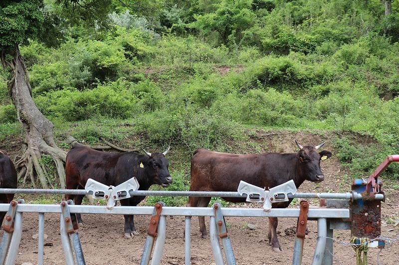 海士町の牛(隠岐牛)