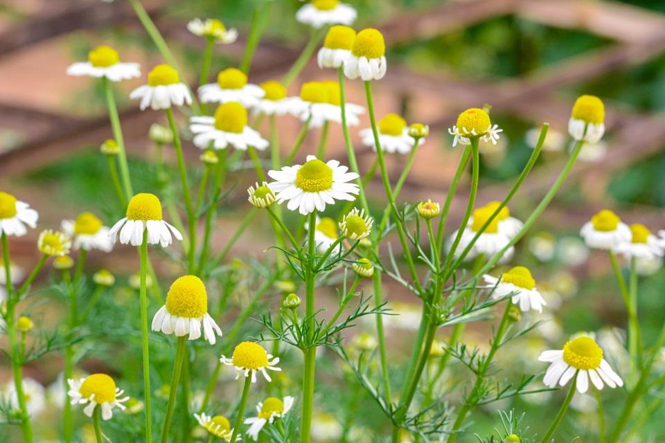 chamomile-flower.jpg