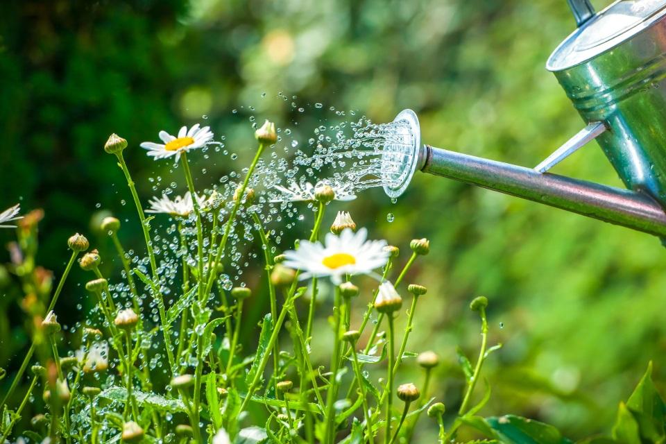 chamomile-watering.jpg