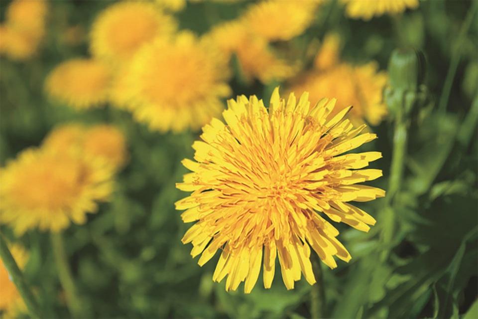 たんぽぽ(ダンディライオン)の花