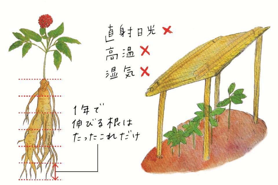 高麗人参の栽培についてのイラスト