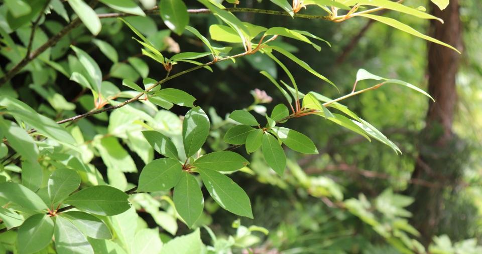 【和ハーブ連載】植物VSウイルスの戦いと和ハーブクロモジの健康効果 一覧画像