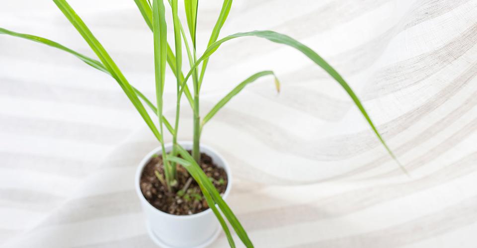 虫除け効果が嬉しいレモングラスの育て方!苗植えから株分けまで紹介