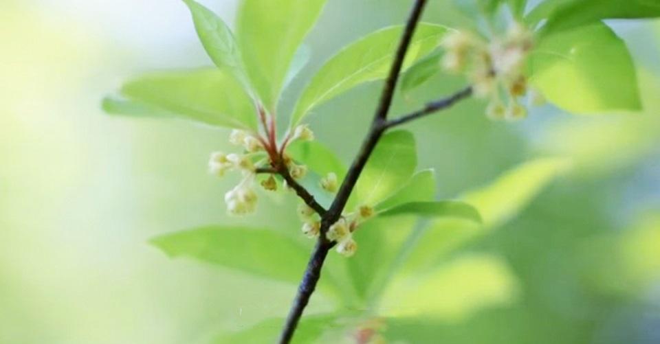 シンボルツリーにも!立ち姿が魅力の庭木クロモジの植え方・育て方