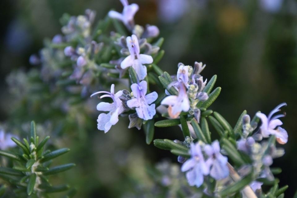 rosemary-flower.jpg