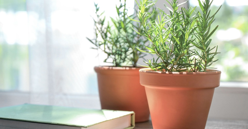 栽培が簡単&使いやすいキッチンハーブ♪<br / >鉢植えローズマリーの育て方